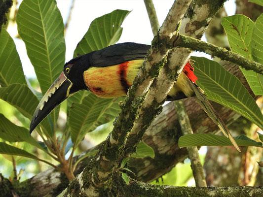 Tucan auf dem Baum neben unserem Camper....