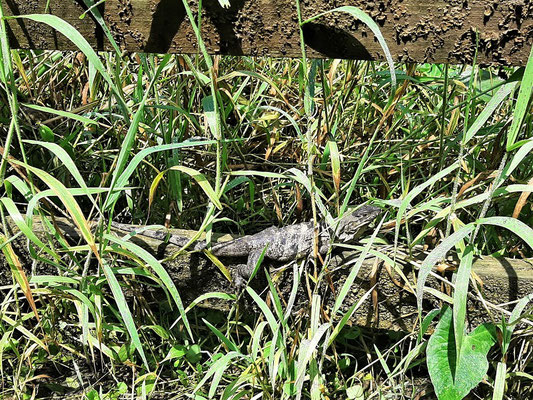 ....auch Iguanas fühlen sich in dieser feuchtheissen Gegend wohl