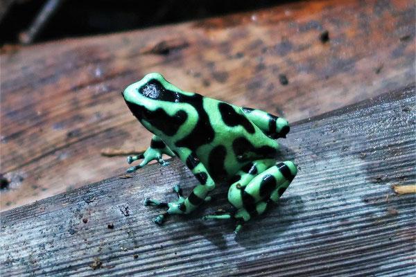 Grün-schwarzer Pfeilgiftfrosch....