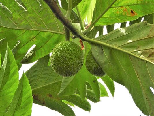 Castañas - Die Kastanien werden erst geerntet, wenn die Frucht vom Baum fällt....