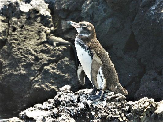 Galapápagos-Pinguin