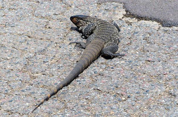 Iguana de Cobre