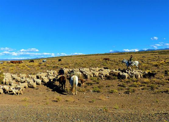 Die Herde wird ins Tal geführt zum Überwintern