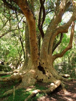 Ombú-Baum