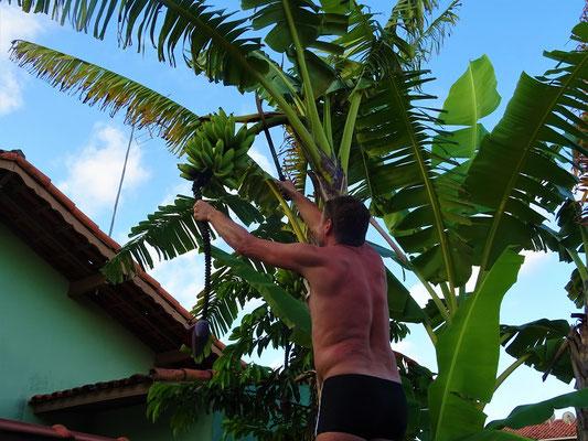 Harald erntet seine Bananen