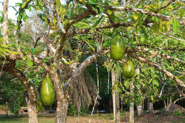 Kalebassenbaum