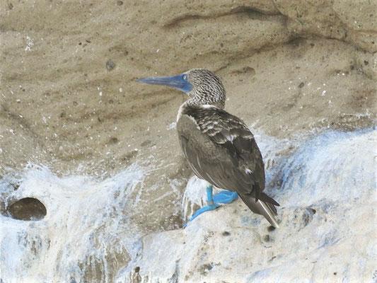 Blaufuss-Tölpel: Je blauer die Füsse der Männchen, desto grösser die Chance bei den Weibchen!