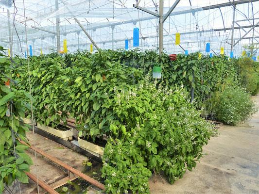 Peperoni, geschützt auch mit Kräuterpflanzen