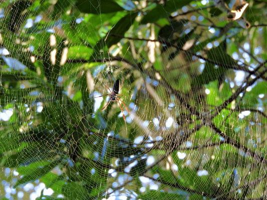 Handgrosse Spinne wartet auf ihre Beute