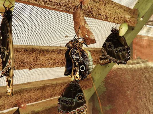 ....zum Schmetterling. Gerade geschlüpft, scheidet der Falter Stoffwechselprodukte der Puppenzeit aus....