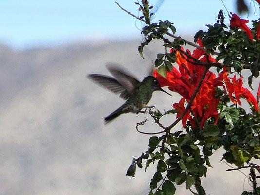 Kolibris schwirren hier überall herum