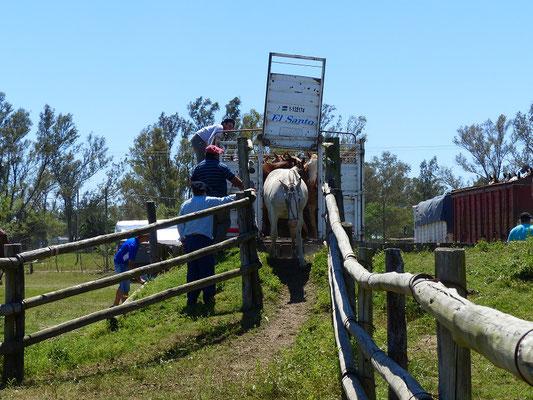 Entladen der Pferde