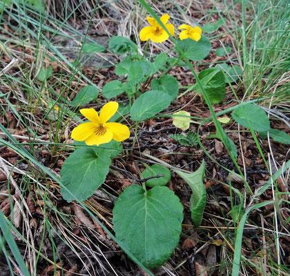 Violeta Amarilla - gelbe Veilchen