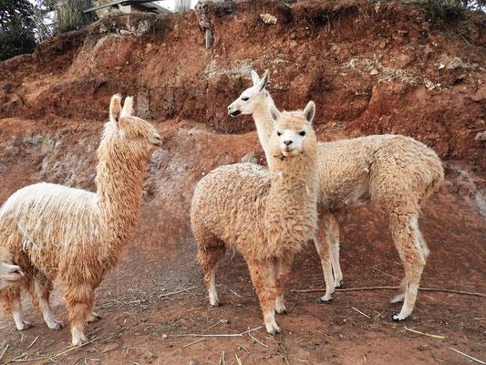 Die Weberei besitzt eine eigene grosse Herde Alpakas und Lamas