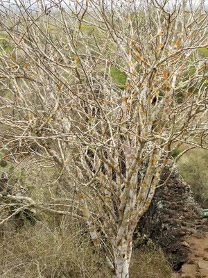 Palo Santo Baum - das heilige Holz....