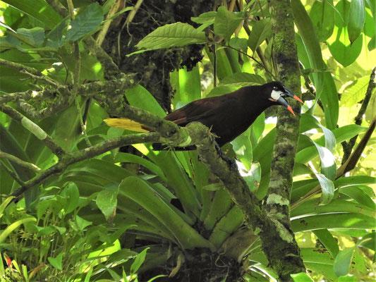 Montezuma-Stirnvogel-Männchen - Grösse 50cm - kann schön und laut singen