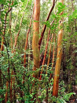 Chilean Myrte - mit rötlichem glattem Stamm