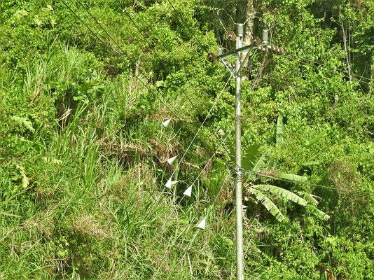 Die Tüten an den Spanndrähten sollten verhindern, dass Faultiere auf die Stromleitungen klettern.