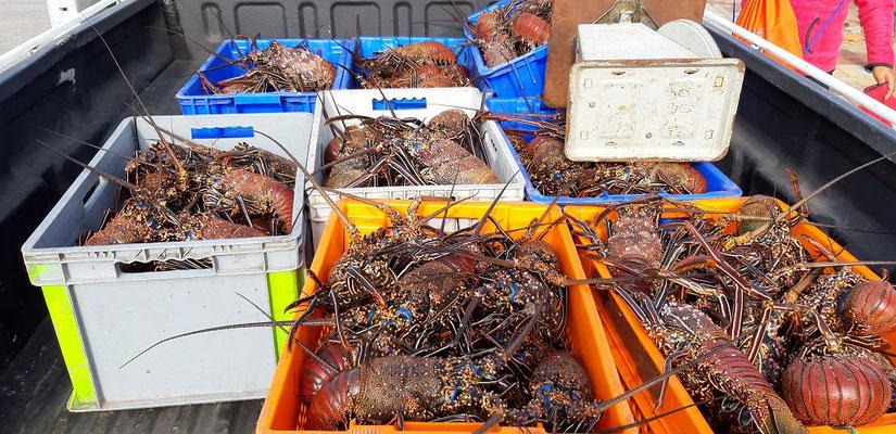 Die Lobster-Saison hat begonnen....