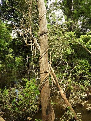 Schlingpflanze erwürgt Baum