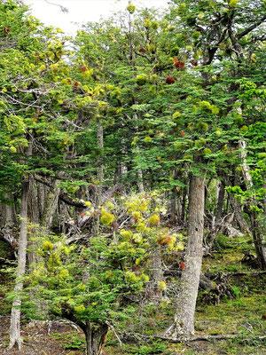 Ñire und Lenga - die Bäume, die in Feuerland wachsen - häufig überwuchert von Schmarotzerpflanzen