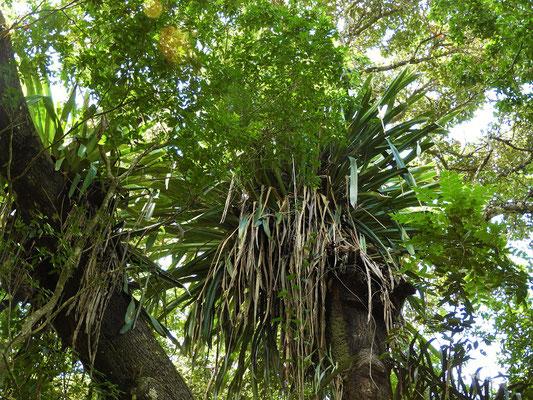 Riesen-Bromelie als Aufsitzerpflanze....