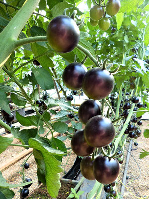 Eine neue Tomaten-Sorte