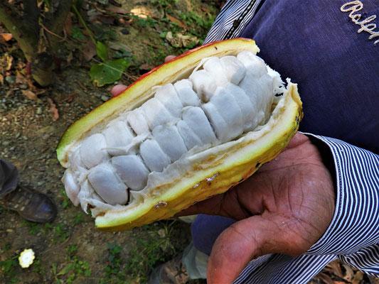 Rohe Kakao-Bohnen der Sorte 'Nacional'