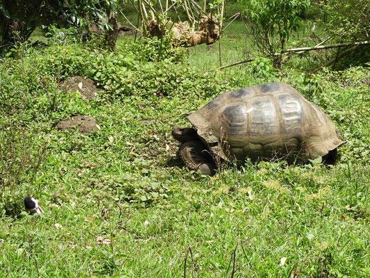 Die Schildkröten essen gerne Grünes