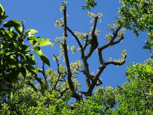 Krone des Ombú Baumes