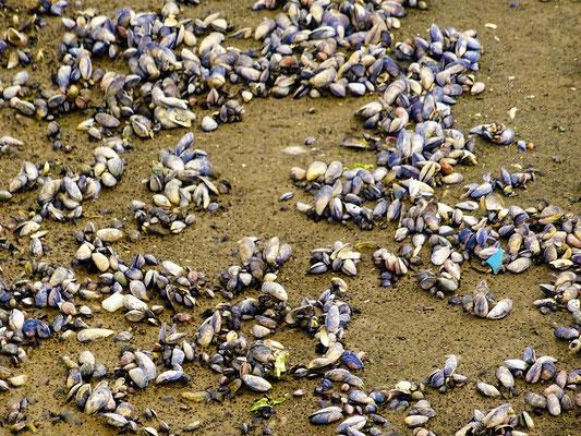 Der Strand ist übersät mit Muscheln
