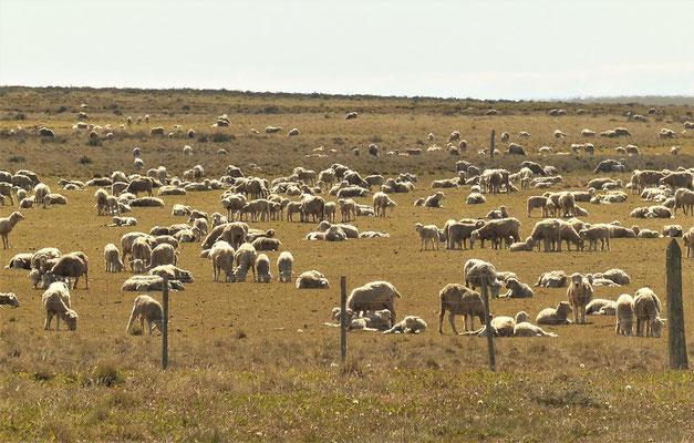 Schafzucht - eine Haupteinnahmequelle Feuerlands