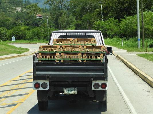 Kückentransport