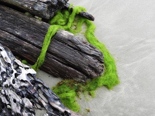 Das grüne Seegras ist zäh wie Plastik - Röbä hat's probiert!!