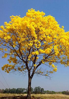 .... so wird Uris Baum irgendwann auch aussehen