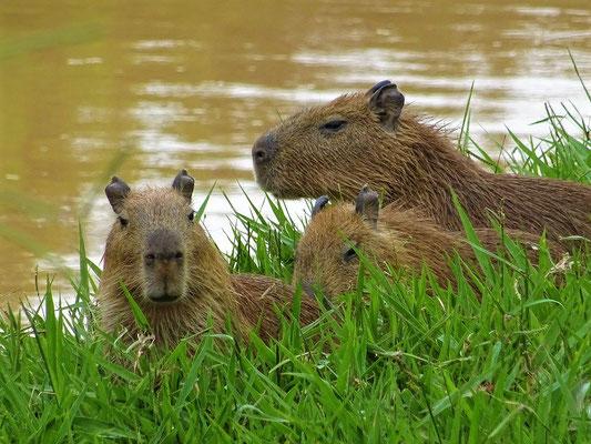 Familie Wasserschwein/Capivaras