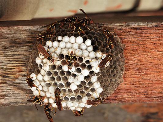 Peruanische Wespen