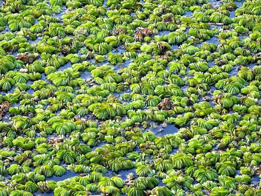 Schwimmende Pflanzen auf dem See