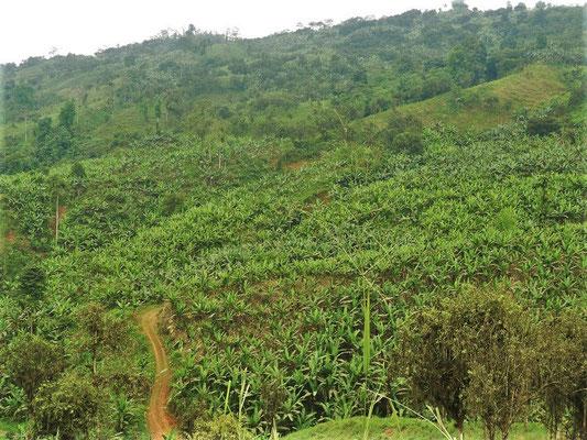 Bananen-Plantagen soweit das Auge reicht