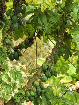 Baum-Papaya
