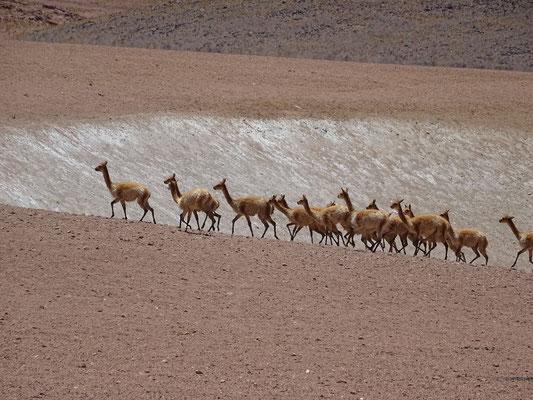 Eine Herde Vicuñas