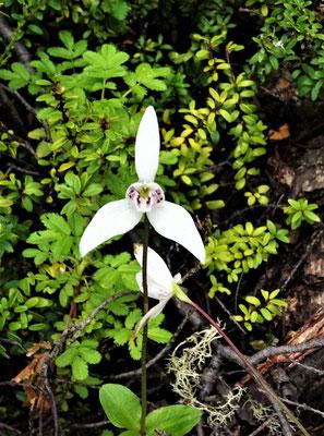 Feuerland-Orchidee