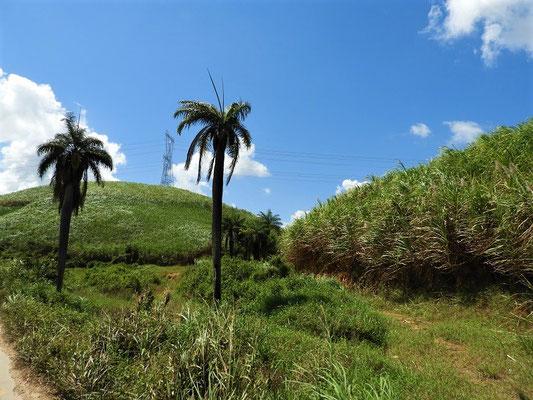Überall wächst Zuckerrohr