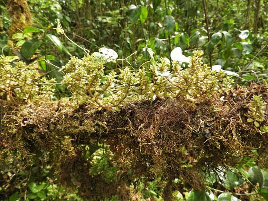 Baumast mit Moos und Pflanzen bedeckt