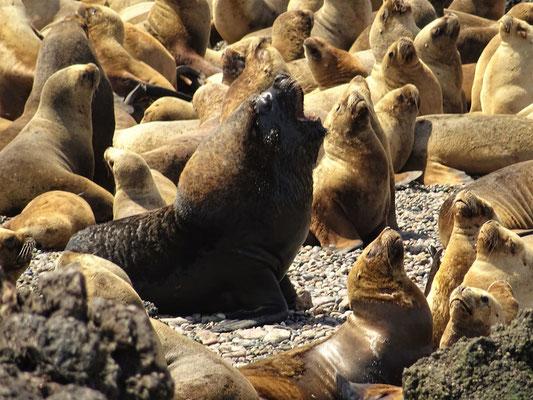 Das Seelöwen-Männchen zeigt sich kampfbereit