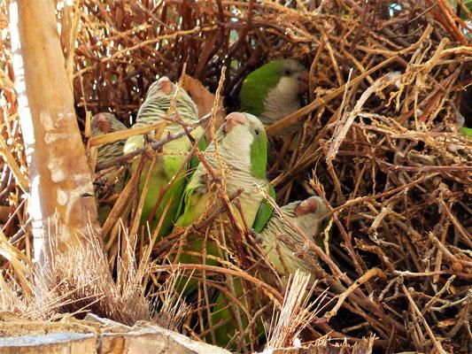 Papageien im Nest auf der Palme