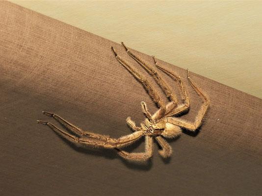 ....von einer handtellergrossen Spinne - leider haben wir nicht rausgefunden zu welcher Gattung sie gehört