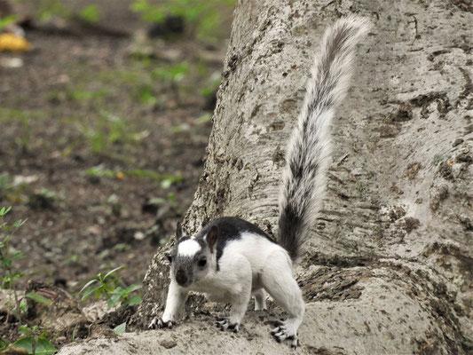 Nicaraguanisches Eichhörnchen