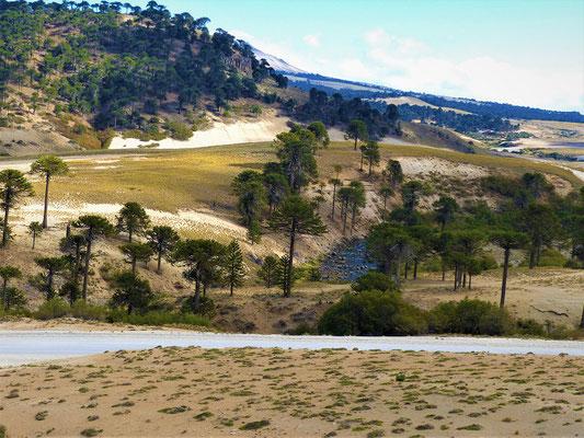 Rechts und links wachsen Araukarien