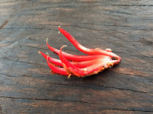 Chiranthodendron - Teufelshand, eine typische Pflanze Guatemalas